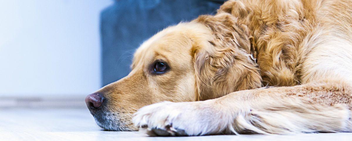 Artrose bij je hond? LITOPET vermindert pijn, is ontstekingsremmend en 100% natuurlijk